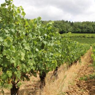 Photo n°10 : Vignoble de l'Étoile